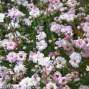 Garden Flowers Gypsophila, Gypsophila paniculata photo pink
