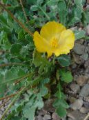 Garden Flowers Sea Poppy, Horned Poppy, Glaucium photo yellow