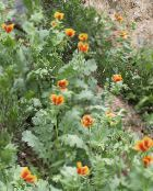 Sea Poppy, Horned Poppy