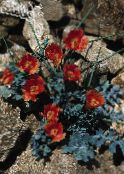 Garden Flowers Sea Poppy, Horned Poppy, Glaucium photo red