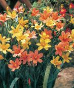 Garden Flowers Cape Tulip, Homeria collina, Moraea collina photo orange