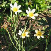 Garden Flowers Cape Tulip, Homeria collina, Moraea collina photo yellow
