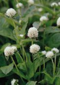 Globe Amaranth white
