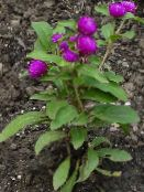 Globe Amaranth purple