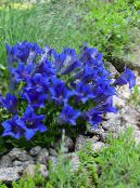 Gentian, Willow gentian blue