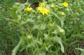 Curly Cup Gumweed yellow