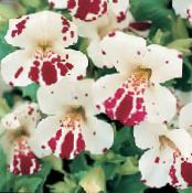 Monkey Flower, Mimulus photo white