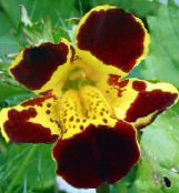 Monkey Flower, Mimulus photo burgundy