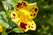 Monkey Flower, Mimulus photo yellow
