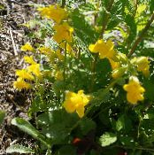 Garden Flowers Monkey Moss, Mimulus primuloides photo yellow