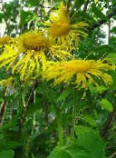 Showy Elecampagne, Elecampane Magnificent yellow