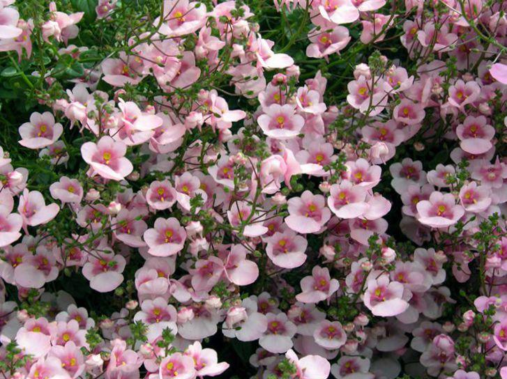 Диасция цветок посадка и уход