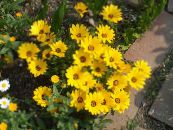 Cape Marigold, African Daisy yellow