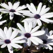 Cape Marigold, African Daisy white