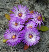 Garden Flowers Livingstone Daisy, Dorotheanthus (Mesembryanthemum) photo lilac
