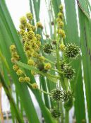 Garden Flowers Exotic Bur Reed, Sparganium erectum photo yellow