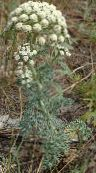 Garden Flowers Moon Carrot, Seseli gummiferum photo white