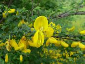 Scotch Broom, Broomtops, Common Broom, European Broom, Irish Broom