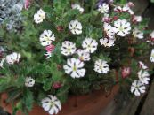 Garden Flowers Zaluzianskya, Night Phlox photo white