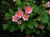 Garden Flowers Strawberry, Fragaria photo pink