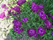 Candytuft purple