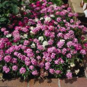 Candytuft pink