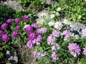 Candytuft lilas