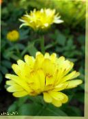 Pot Marigold yellow