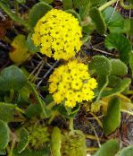 Sand Verbena yellow