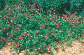Garden Flowers Mexican Winecups, Poppy Mallow, Callirhoe involucrata photo red