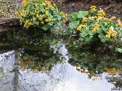 Marsh Marigold, Kingcup yellow