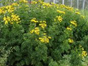 Curled Tansy, Curly Tansy, Double Tansy, Fern-leaf Tansy, Fernleaf Golden Buttons, Silver Tansy yellow