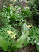 Garden Flowers Fawn Lily, Erythronium photo yellow