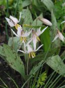Garden Flowers Fawn Lily, Erythronium photo white