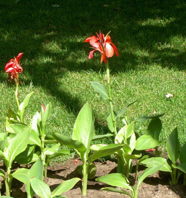 indisk lilje