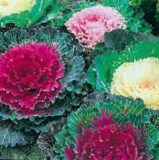 Flowering Cabbage, Ornamental Kale, Collard, Curly kale red