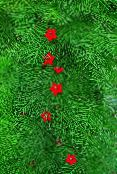 Garden Flowers Cardinal Climber, Cypress Vine, Indian Pink, Ipomoea quamoclit photo red
