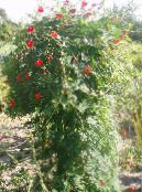 Cardinal Climber, Cypress Vine, Indian Pink red