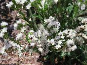 Carolina Sea Lavender white