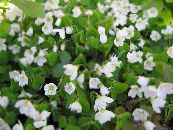 Wood Sorrel, Whitsun Flower, Green Snob, Sleeping Beauty white