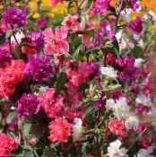 Clarkia, Garland Flower, Mountain Garland red