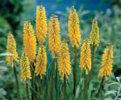 Red Hot Poker, Fackellilie, Tritoma gelb