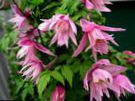 Atragene, Small-flowered Clematis photo pink