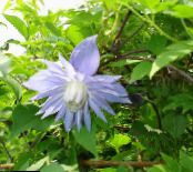 Atragene, Small-flowered Clematis photo light blue