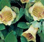 Cathedral Bells, Cup and saucer plant, Cup and saucer vine yellow