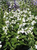 Campanula, Bellflower white