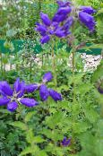 Campanula, Bellflower blue