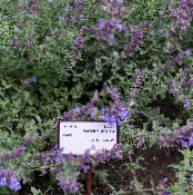Cat mint purple