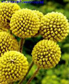 Billy buttons yellow