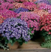 Florist's Cineraria purple